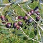 Pendolino olivo albero di olive painta Anticopomario Dalmonte vivai