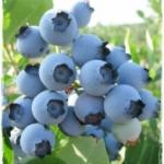 foto dei frutti della pianta di MIRTILLO-AMERICANO-patriot