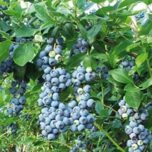 foto dei frutti della pianta di MIRTILLO-AMERICANO partiot