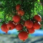 Pianta-di-Melograno-Ako-Acco-Aco-Dalmonte Anticopomario piante da frutto online