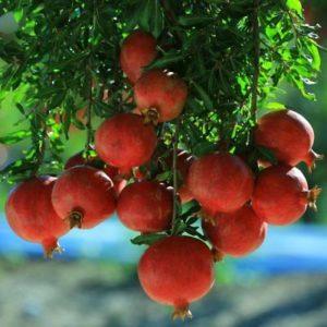 foto frutti dell'albero Melograno-Ako-Acco