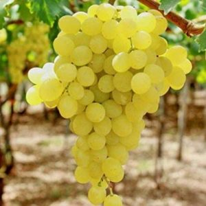 foto dei grappoli d'uva Regina Uva da tavola