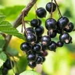 foto frutti della pianta Ribes nero TITANIA