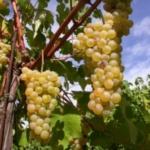 Ruggine Uva da vino rossa Barbatelle AnticoPomario Dalmonte vivai viti