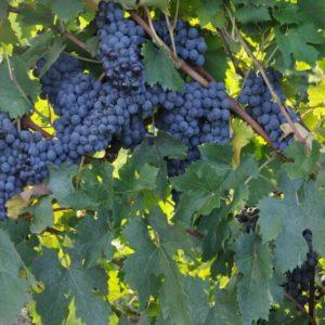 foto dei frutti delle barbatelle di vite Sangiovese campo
