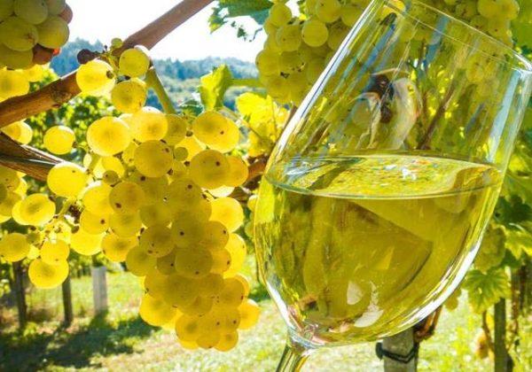 foto dei frutti delle barbatelle di vite Sauvignon Blanc