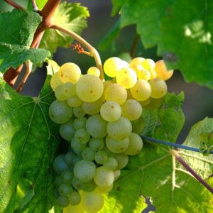 foto dei frutti delle barbatelle di vite Sauvignon Blanc Uva da vino