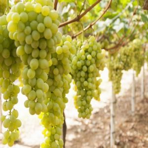 foto dei grappoli d'uva Sultanina Uva da tavola bianca