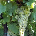 foto dei frutti delle barbatelle di vite da vino bianco Trebbiano Modenese