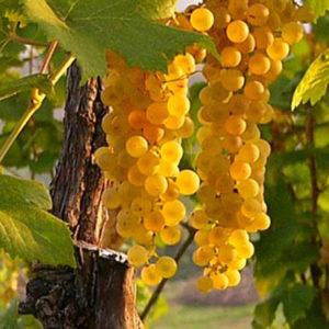foto dei frutti delle barbatelle di vite da vino bianco Trebbiano Romagnolo