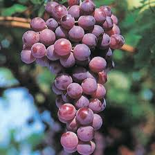 foto dei grappoli d'uva Cardinal