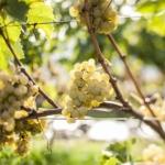 Uva-Pinot-Bianco