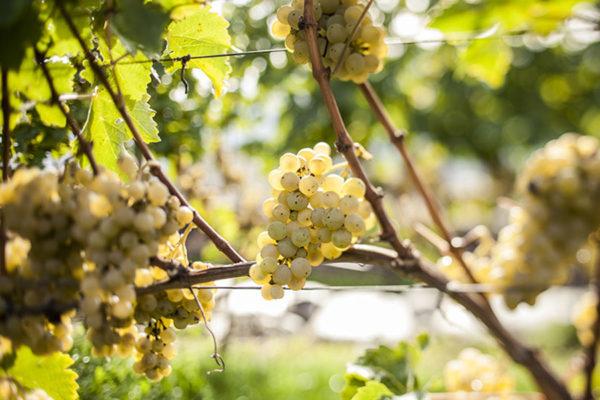 foto dei frutti delle barbatelle di vite Pinot-Bianco