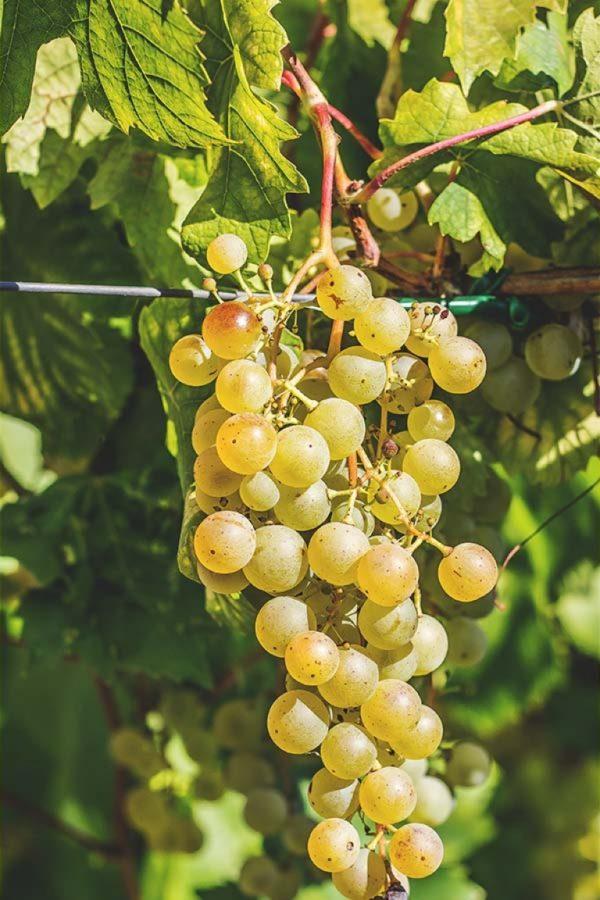 foto dei frutti delle barbatelle di vite Uva Ruggine