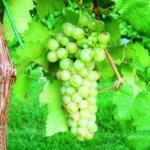 Lanzesa Uva da vino rossa Barbatelle AnticoPomario Dalmonte vivai viti