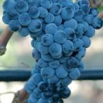 Uva da vino rossa Barbatelle Merlese AnticoPomario Dalmonte vivai viti
