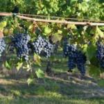 Uva longanesi Uva da vino rossa Barbatelle AnticoPomario Dalmonte vivai viti