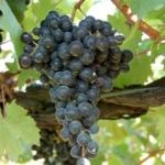 foto dei grappoli d'uva terrano_1