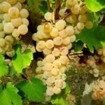 foto dei frutti delle barbatelle Vernaccina