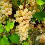 Vernaccia_Uva da vino Barbatelle AnticoPomario Dalmonte vivai viti
