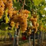 Vernaccina di-San-Gimignano Uva da vino rossa Barbatelle AnticoPomario Dalmonte vivai viti