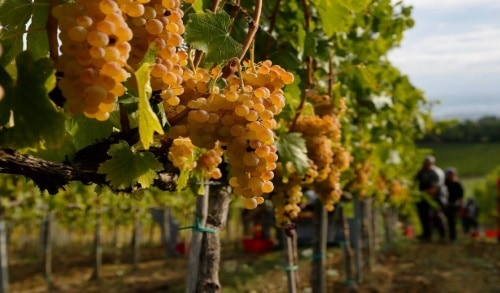 foto dei frutti delle barbatelle di vite Vernaccina di-San-Gimignano