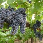 Verrucese Uva da vino rossa Barbatelle AnticoPomario Dalmonte vivai viti