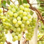 aphrodite Uva da tavola bianca Barbatelle AnticoPomario Dalmonte vivai viti