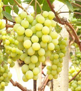 foto dei grappoli d'uva Uva da tavola bianca 2