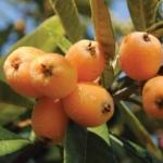 Foto dei frutti del nespolo