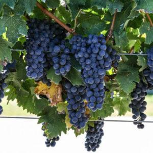 foto dei grappoli d'uva di cabernet-sauvignon