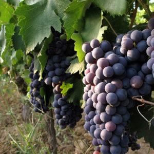 foto dei grappoli d'uva ciliegiolo