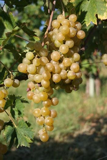foto dei frutti delle barbatelle di vite rappolo-malvasia Uva da vino
