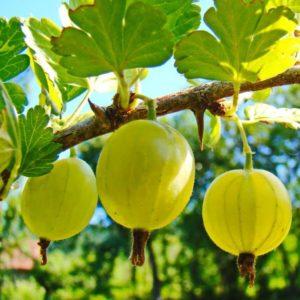 Foto frutti hinnonmaki-gul