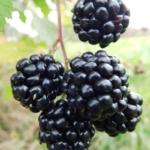 hull-thornless Pianta di more online anticopomario dalmonte vivai rovo albero cespuglio di more17