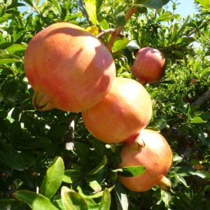 foto frutti dell'albero melagrana-mollar-di-elche-
