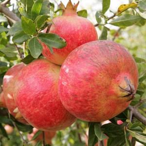 foto frutti dell'albero melagrano-mollar-di-elche