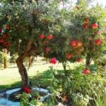 melograno_Dalmonte anticopomario vivai pianta di melagrane