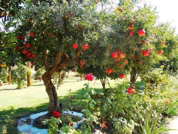 foto frutti dell'albero melograno_Dalmonte
