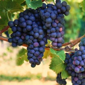foto dei grappoli d'uva merlot