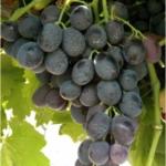 foto dei grappoli d'uva michelepalieri