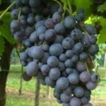 moscato-d-amburgo-nera AnticoPomario Dalmontevivai barbatelle di vite uva da tavola