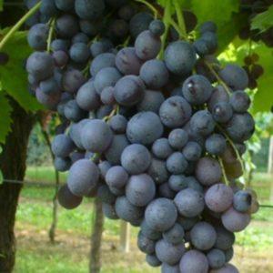 foto dei grappoli d'uva moscato-d-amburgo