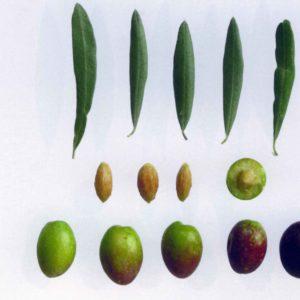 Foto di olive orfana e foglie con dimensioni