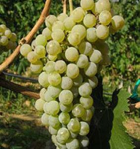 foto dei frutti della vite bianca ortrugo