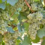 ortrugo Uva da vino Barbatelle AnticoPomario Dalmonte vivai viti