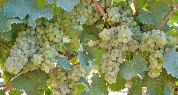 foto dei frutti della viteda vino bianca ortrugo