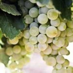 pignoletto Uva da vino Barbatelle AnticoPomario Dalmonte vivai viti