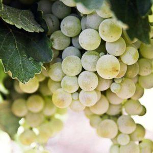 foto dei frutti delle barbatelle di vite pignoletto Uva