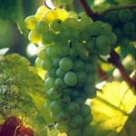 pinot-bianco_N1 Uva da vino rossa Barbatelle AnticoPomario Dalmonte vivai viti